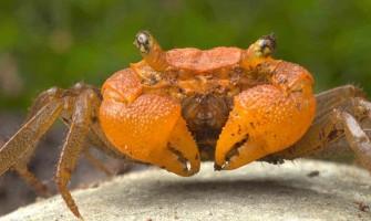 Mandarin rák - Részletes útmutató: Gondozás, étrend és tenyésztés