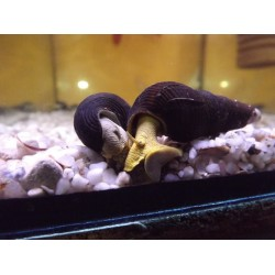 Tylomelania sp. . - Sulawesi nyúlcsiga silver , ( sárgás szürke testű)