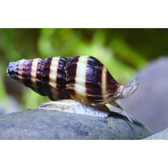 Csiga-Csigaevő csiga - Anentoma helena