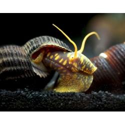 Nyúlcsiga - Tylomelania sp.(sárga foltos)