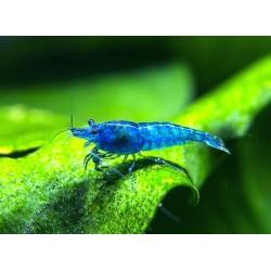 Kék garnéla (Blue dream)