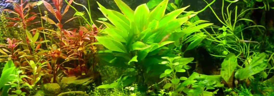 Allelopáthia avagy háború az akváriumban