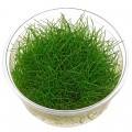 Steril (zselés) növények