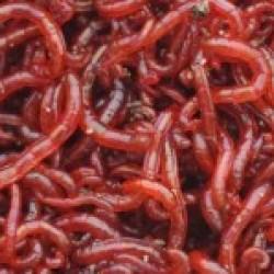 Fagyasztott  vörös szúnyoglárva 100g
