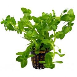 Bacopa caroliniana (Amplexicaulis)