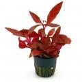Piros növények