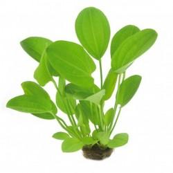 Echinodorus cordifolius-szív levelű kardfű