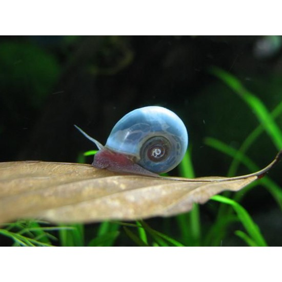Kék postakürt csiga - Planorbella sp. blue