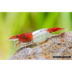 Garnéla-Red Rili garnéla-Neocaridina heteropoda var. rili
