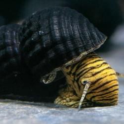"""Tylomelania sp. """"TIGER"""" . - Sulawesi nyúlcsiga , ( Tigris csíkos!)"""