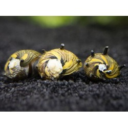 Csiga-Szarvas csiga (Clithon sp.) L méret