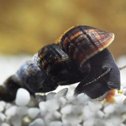 Nyúlcsiga béby - Tylomelania sp.  (Saját tenyésztésű, vegyes színváltozatokkal! )