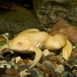 Karmosbéka (Albinó, AFRIKAI)