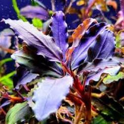 Bucephalandra 'achiles black dark'