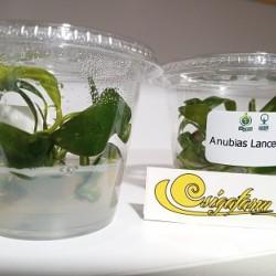 Anubias Lanceolata (zselés)