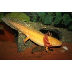 Axolotl- sárga színben