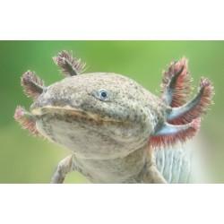 Axolotl -vadas színben