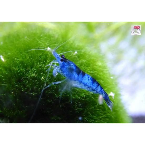 Kék rili garnéla (Blud dream rili) 20db Ingyenes szállítással!