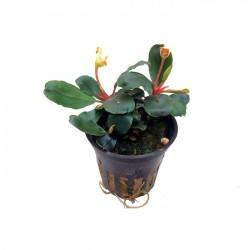 Bucephalandra 'mini Red'