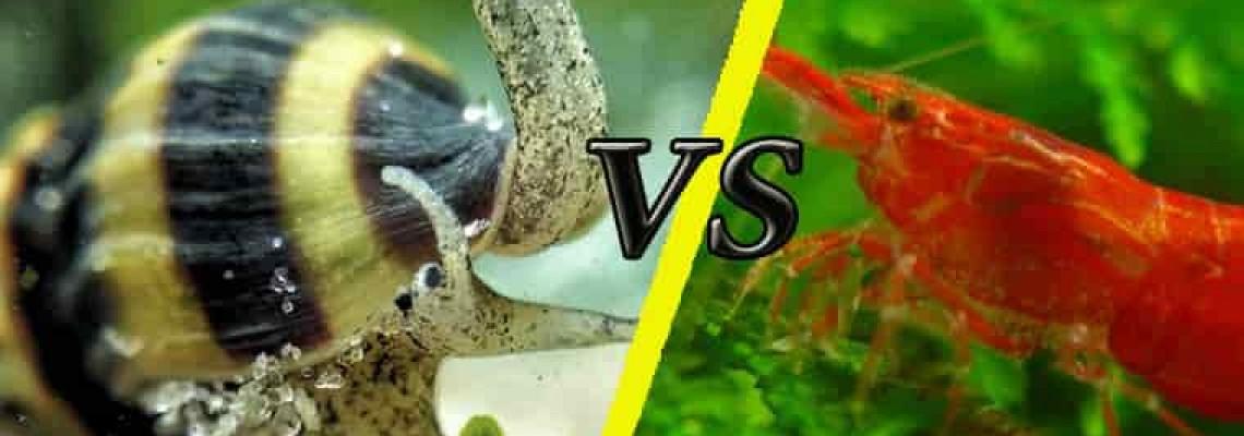 A csigaevő csigák esznek garnélát?