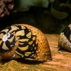 """Csiga-""""Rulett"""" csiga (Neritina sp.)"""