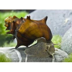 Pagoda csiga (Brotia pagodula)