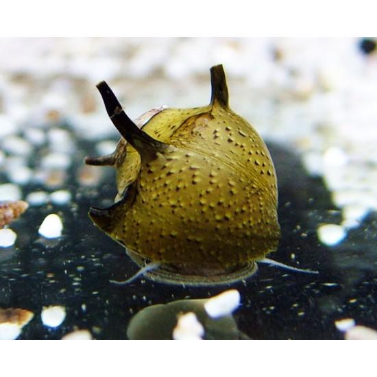 Napsugár csiga - Clithon sp. Thorn