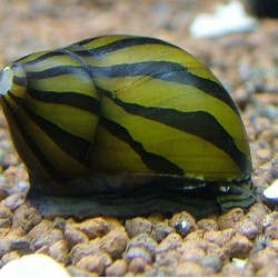 Csiga-Zebra csiga - Neritina natalensis sp. zebra