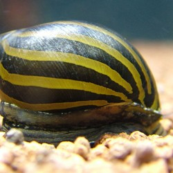 Neritina natalensis sp. zebra - Zebra csiga