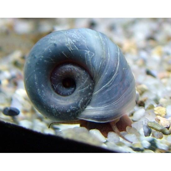 Csiga-Kék postakürt csiga - Planorbella sp. blue