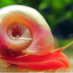 Planorbella sp. red - Piros postakürt csiga