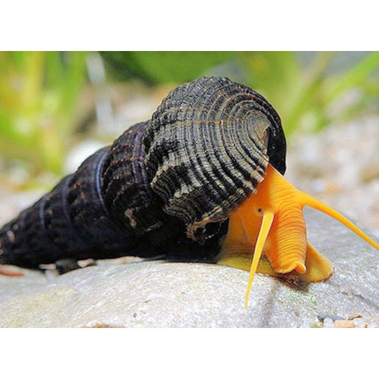 Nyúlcsiga - Tylomelania sp.  ( Szuper orange!)