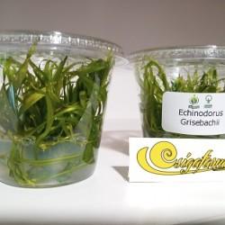 Echinodorus Grisebachii (zselés)