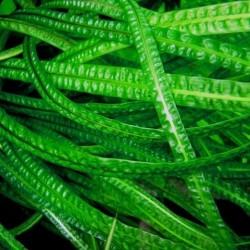 Fodroslevelű vízikehely - Cryptocoryne aponogetifolia - / XL. méret / 1 tő- 60-80 cm-es