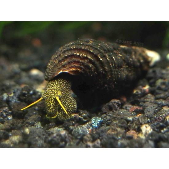 Nyúlcsiga - Tylomelania sp. ( Sárga pettyes!)