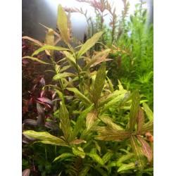 Hygrophila rosenervig