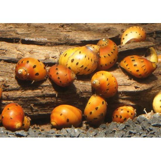 Vittina semiconica- hagymacsiga