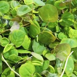 Phyllanthus fluitans - Red Root Floater- úszónövény