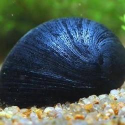 Rohamsisak csiga (Neritina pulligera) XL.