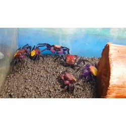 Vámpír rák - Geosesarma cf. bicolor