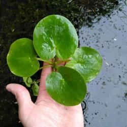 Limnobium laevigatum úszó növény