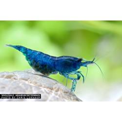 Garnéla - Neocaridina davidi Blue velvet- bársony kék garnéla