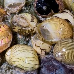 Csiga-Porcelán csiga (Clithon oualaniensis)