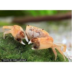 Pom-pom rák (Ptychognathus barbartus)