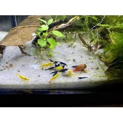 5 db sárga + 5 db kék garnéla