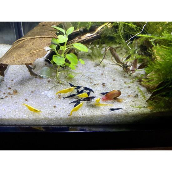 Garnéla-5 db sárga + 5 db kék garnéla
