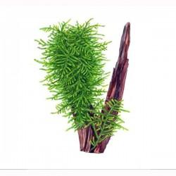 Taxiphyllum Sp. Spiky- Moha 150ml