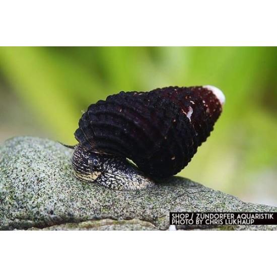 "Csiga-Törpe nyúlcsiga (Tylomelania sp. ""Matano mini"")"