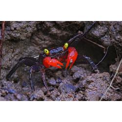 Vörös ördög rák (Geosesarma hagen)