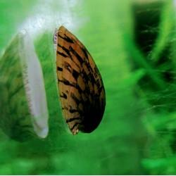 Csiga-Teknőscsiga (Septaria porcellana)